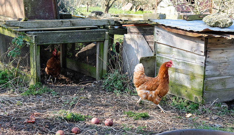 chickens and coop