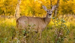 white-tailed deer kale pests