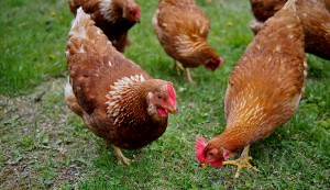 chicken keeping