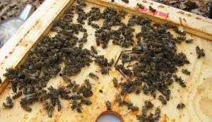 dead beehive bees