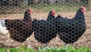 chicken fencing