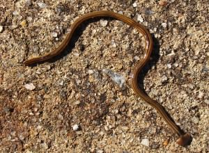 spear-headed worm