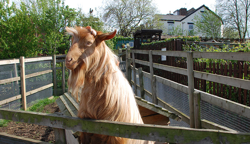 backyard goat