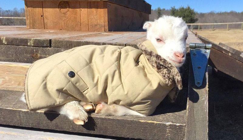 Atticus, goat, coat