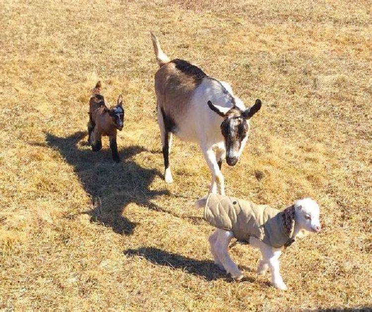 goats, coat