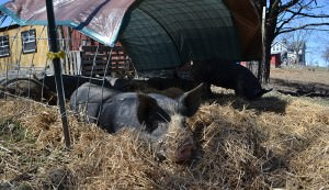 pig housing