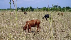 cattle, stubble grazing