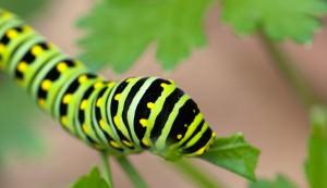 parsley worm