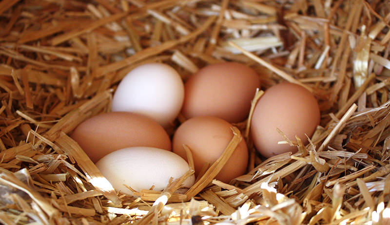 eggs in nest box