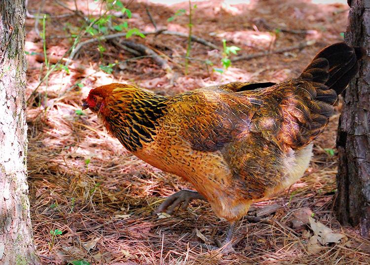 Easter Egger hen