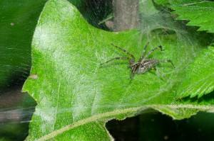 sheet web spider
