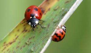 ladybug ladybugs beetles insects chickens gardens