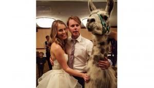 llama wedding crasher
