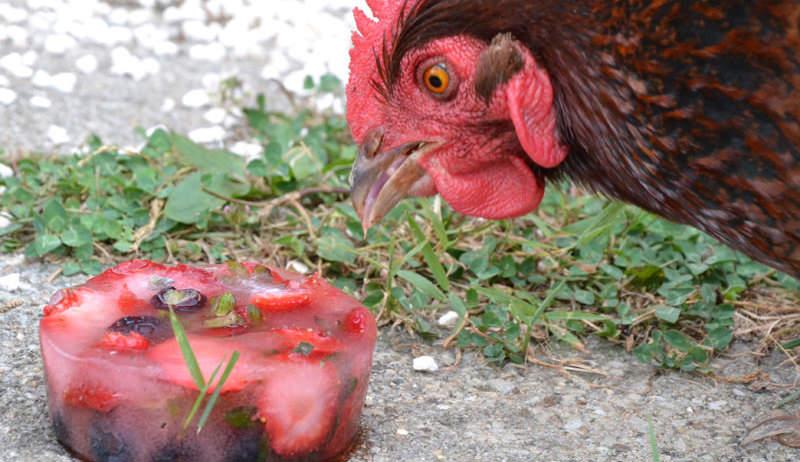 chicken treat for summer
