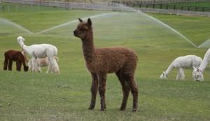 fiber alpaca wool
