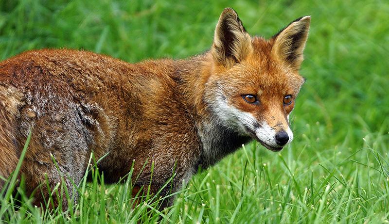 fox chickens fencing