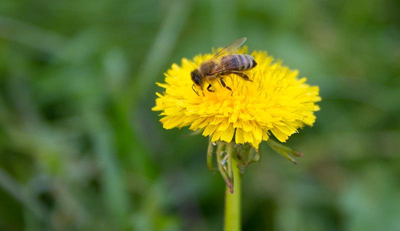 bee on dandelion dearth