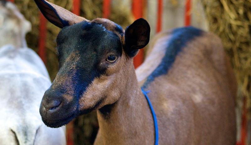 dairy goat of Swiss origin