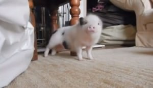 pig dance