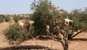 goats in argan tree