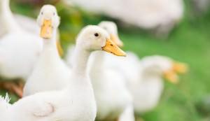 raising ducks adding livestock