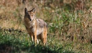 Protect your livestock from predators like coyotes.