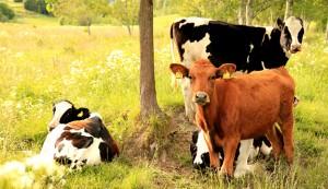Raise cows on your farm.