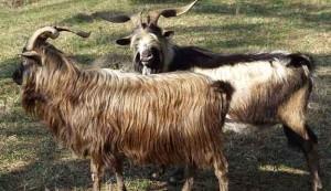 spanish goats