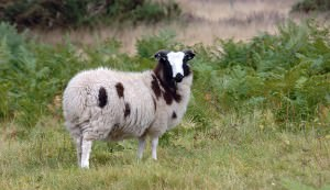 Jacob Sheep grazing in Sherwood Forest National Nature Reserve England