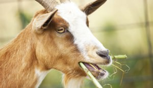 goat eating weeds