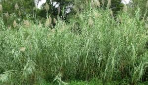 river bamboo