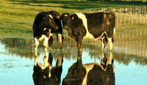 farm disaster livestock hurricane hurricanes cows cattle