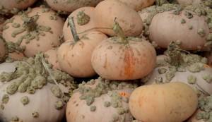 Galeux D'Eysines pumpkins
