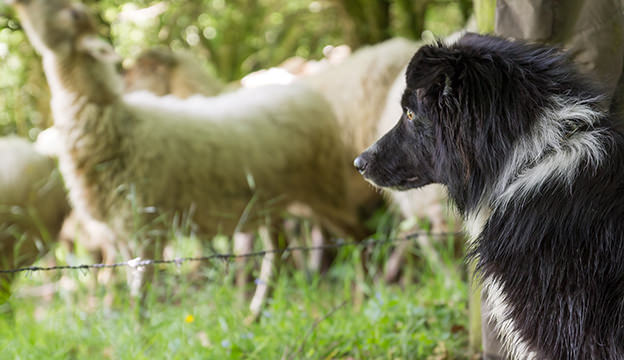 Sheep dog sitting beside shepherd