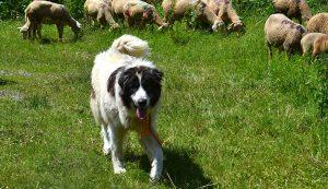 herding dog dogs farm