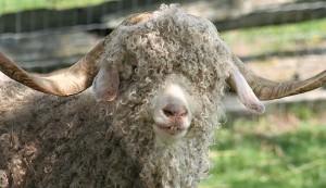 Angora goats are raised for their long soft fiber.