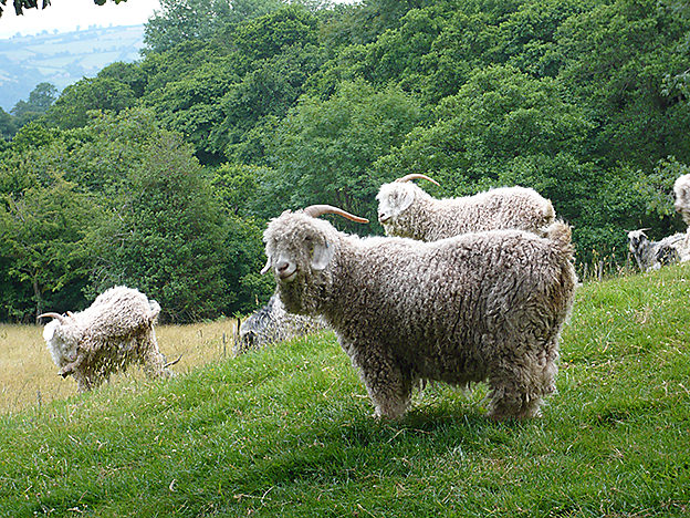 Angora goats can be raised in a variety of colors.