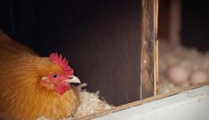 bedding chickens coop