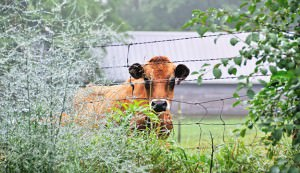 Cow at Fence