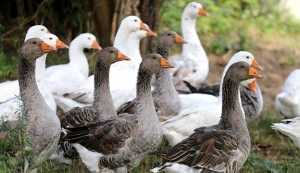 Flock of goose looking around on poultry farm