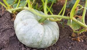 Green pumpkin in the garden
