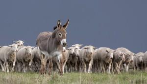 predators donkey guard animal