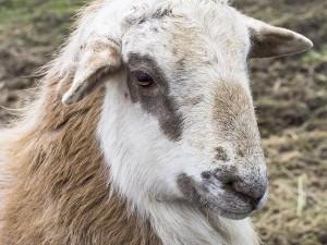 Hair sheep