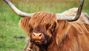 Highland cattle originated from the pastures of Scotland.