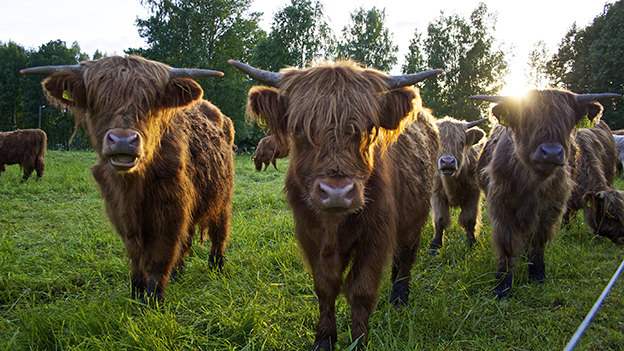 Visit Highland cattle farms to learn about them before deciding to raise them for beef.