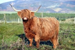 Highland cattle are noted by and prized for their long, shaggy, fur-like hair.