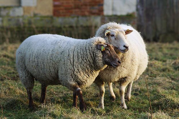 To make money raising livestock, find a niche market.