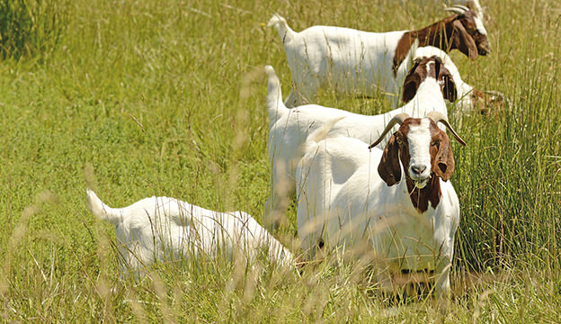 Boar goats are a meat goat breed