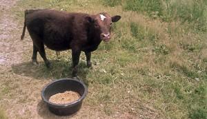 Raising miniature cows