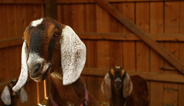 Nubian goats are a dairy breed.